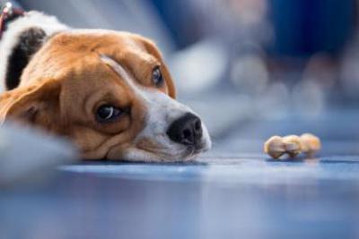 Гепатит у собак !